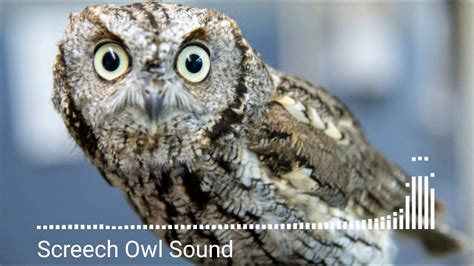 Animal sounds, Screech Owl Sound   YouTube