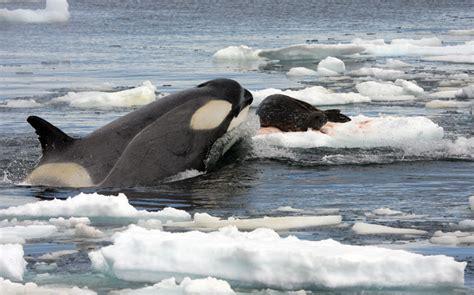 Animales en el Planeta: La orca, ballena asesina o bufeo ...
