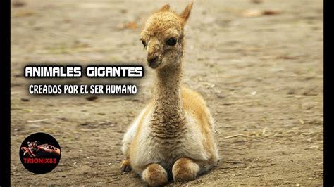 Animales gigantes reales creados por el ser humano – Los ...