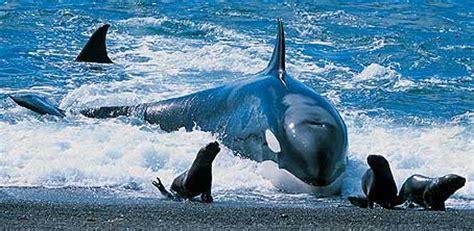 Animales Marinos: Orcinus Orca  Orca