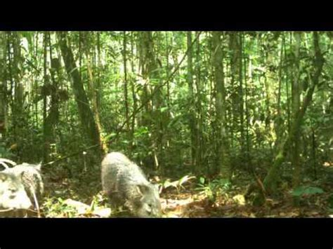 Animales que se esconden en la selva Amazónica   YouTube