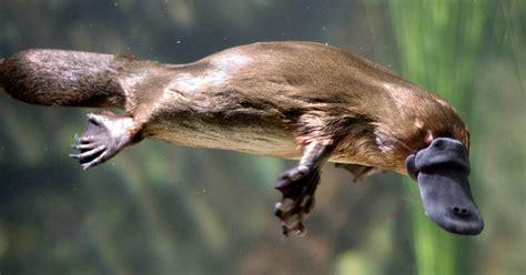 ANIMALES QUE SOLO ENCONTRARÁS EN AUSTRALIA   BLENDEX ...