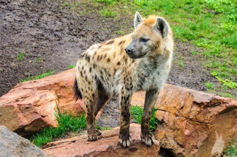 Animales salvajes en Bioparc de València