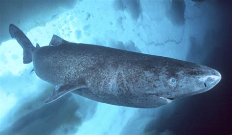 Animaletes: El tiburon boreal.  Somniosus microcephalus