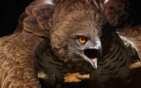 animals, Birds, Hawks, Eyes, Predator, Wildlife, Raptor ...