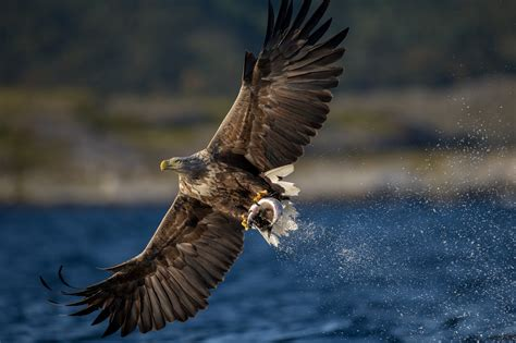 animals, Eagle, Birds, Bird Of Prey, Fish Wallpapers HD ...