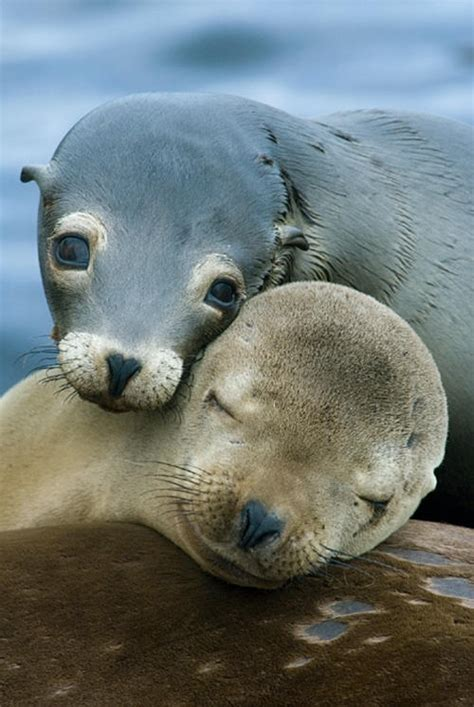 AnimalsLife: Leones marinos