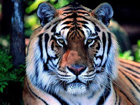 Ano do Tigre!!!   Galhada Na Cara!