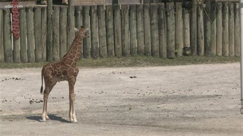 Another one! Zoo Knoxville reveals second baby giraffe on ...