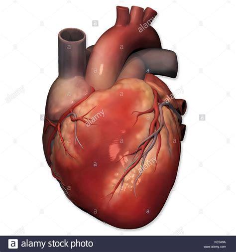 Anterior view of human heart anatomy Stock Photo ...