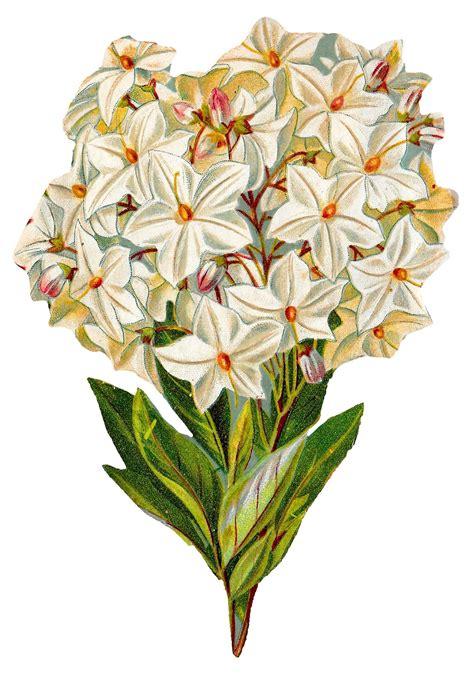 Antique Images: Free Hydrangea Flower Botanical Artwork ...