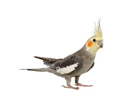 AP: About Parrot allevamento pappagalli: SCHEDA Calopsite ...