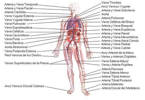 Aparato Circulatorio   Aparatos   Cuerpo Humano   TAFAD ...