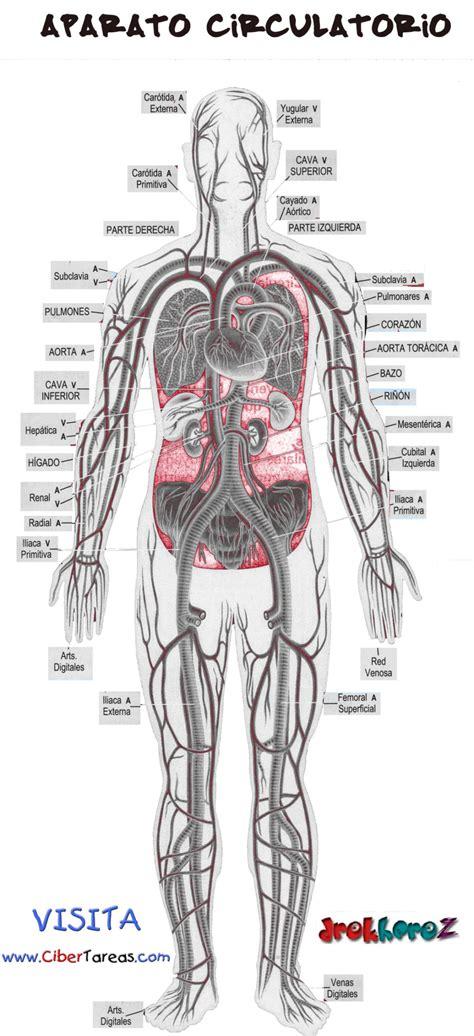 Aparato Circulatorio | CiberTareas