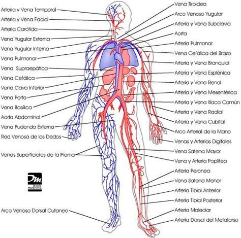 Aparato circulatorio cuerpo humano   Imagui | Anatomía ...