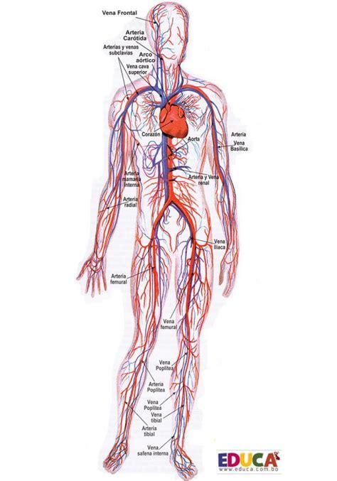 Aparato Circulatorio | Historia, Literatura, Educación de ...
