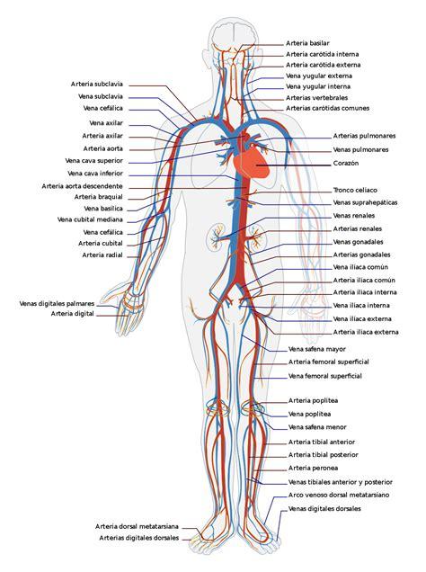 Aparato circulatorio   Wikipedia, a enciclopedia libre