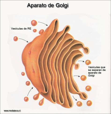 Aparato de Golgi   Andy Chica