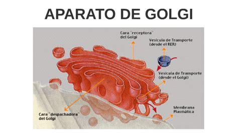 APARATO DE GOLGI by Paula Labiano Pardo on Prezi