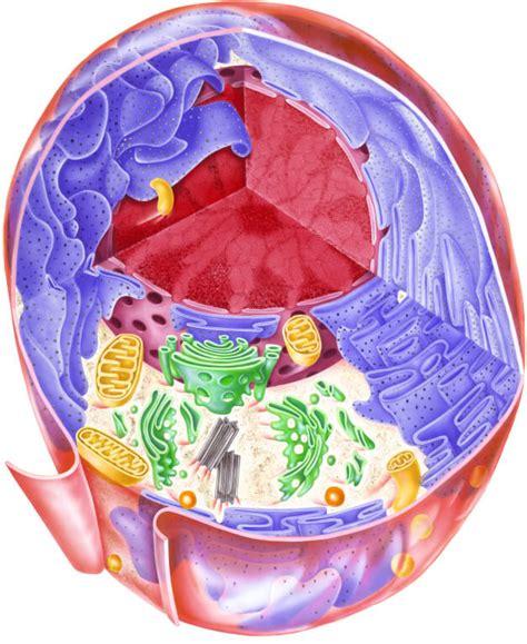 Aparato de Golgi   Definición, Concepto y Qué es