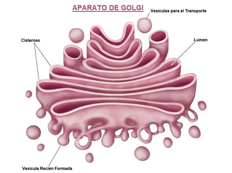 Aparato de Golgi Funcion
