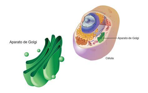 Aparato de Golgi | NHGRI
