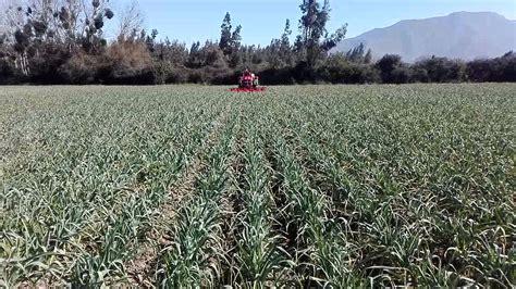 Aplicación de herbicida en ajos   YouTube
