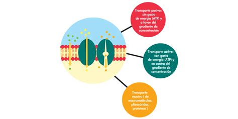Aplicativo Tipos de transporte de moleculas a traves de ...