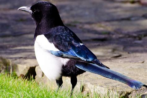 Aprende todo sobre los corvidae, una increíble familia de aves