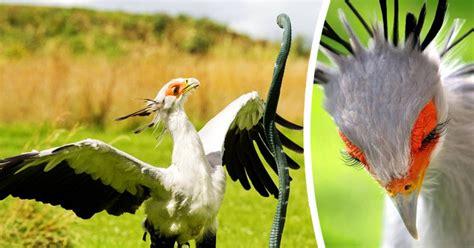 Apresentamos a Ave Secretária, o pássaro mais deslumbrante ...