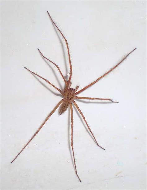 Arañas pequeñas: Blancas, rojas, venenosas y más.