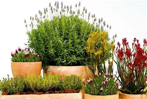 Aromaterapia » plantas aromaticas