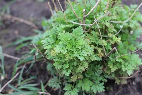 Aromatic, I think this is feverfew | Feverfew, Wild plants ...