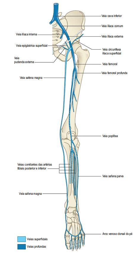 As Veias do Membro Inferior   Anatomia Online