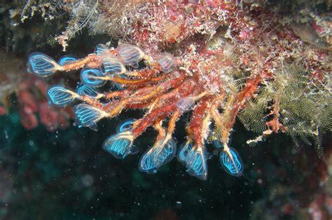 Ascidias, organismos filtradores que viven en el fondo de ...