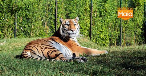Asha, a fêmea tigre que nasceu no Zoo da Maia faz hoje 6 ...