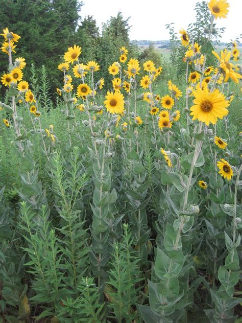 Ashy Sunflower  Helianthus mollis , NJ native plants ...