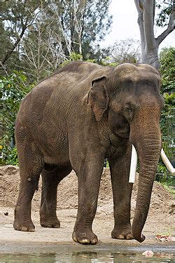 Asian elephant   Simple English Wikipedia, the free ...