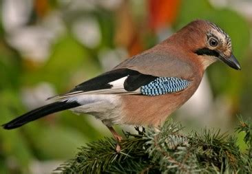 Asturias: Fauna Autóctona de Asturias II Aves de los Bosques