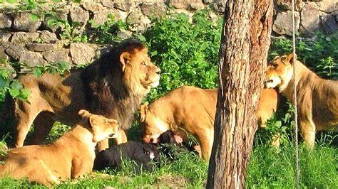 Atacado por Leones en el Zoo de Barcelona   YouTube