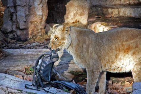 Ataque en el zoo de Barcelona: Rugidos en un soleado ...