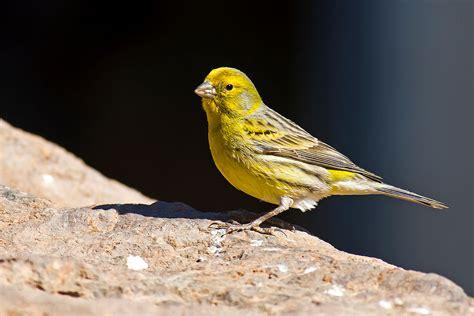 Atlantic canary   Wikipedia