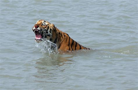 Au Bangladesh, le tigre se meurt