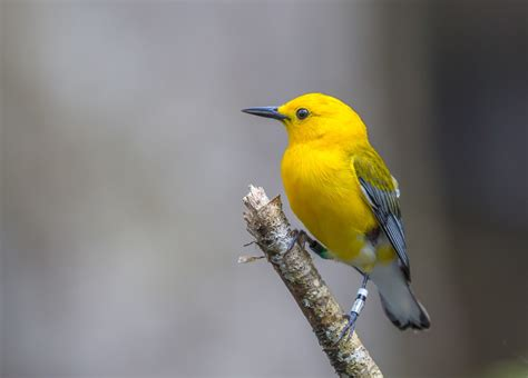 Audubon South Carolina: Prothonotary Warbler Migration ...