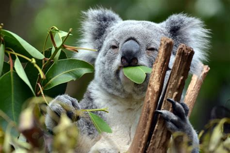 Australia unveils ambitious plan to save koalas from ...