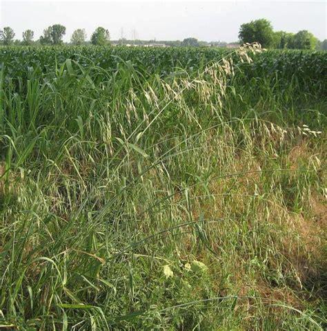 Avena fatua L.   wild oat
