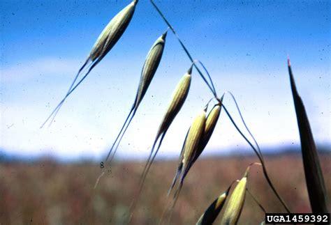 Avena fatua  wild oat : Go Botany