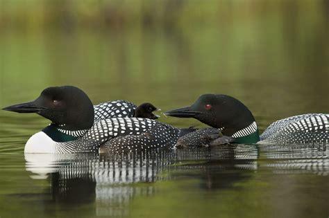 Aves aquáticas   Biologia   InfoEscola