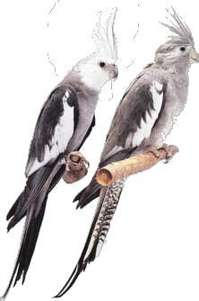 Aves Arco: Cuadro de Mutaciones de ninfas