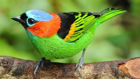 Aves coloridas da Mata Atlântica   The most beautiful and ...